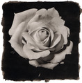 Rose, Platinum