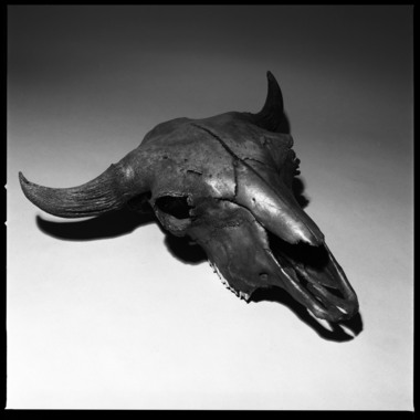 Fossilized Bison skull