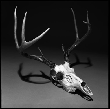 White Tail Deer Skull